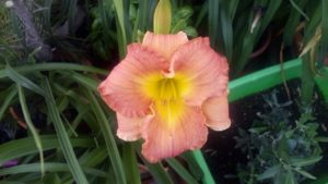 Hemerocallis •Broadway attraction X Glacier bay