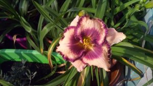 Hemerocallis Over the top X Destined to see